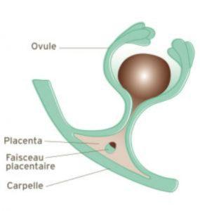 Le placenta végétal.